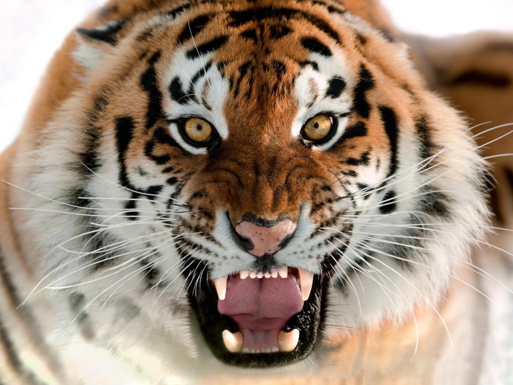 Геннадий ГОЛЫШЕВ Тигровая падь